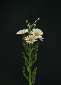 アキノノゲシ02