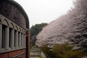 ビッグタートルの桜