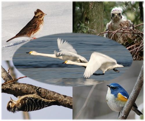 深谷市の野鳥