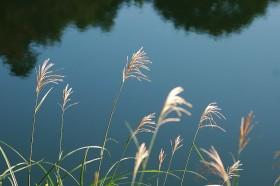 ススキと谷津池